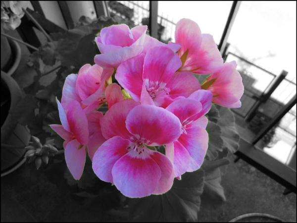 geranium flowers by laura1