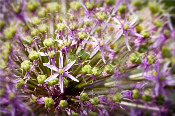 Allium Bang by capto