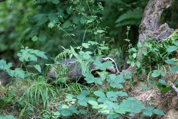 Badger by stu8fish