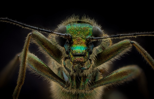 Thick Legged Beetle. by stu8fish