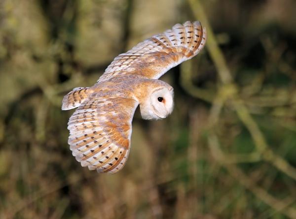 Barn Owl by Steveo28