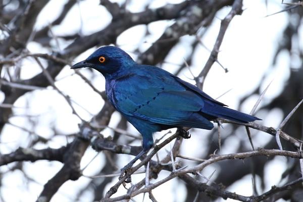 Glossy starling by Steveo28