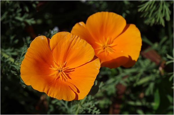 Eschscholzia californica by johnriley1uk
