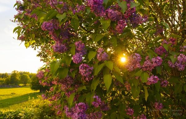 Lilac by jupokoo