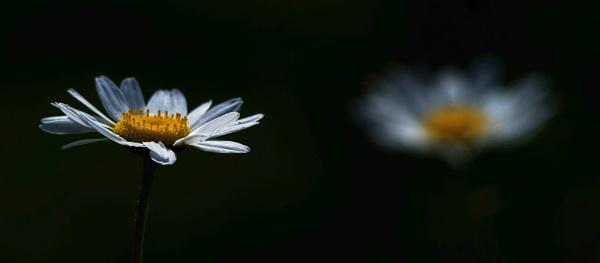 Daisy.............. by Mollycat