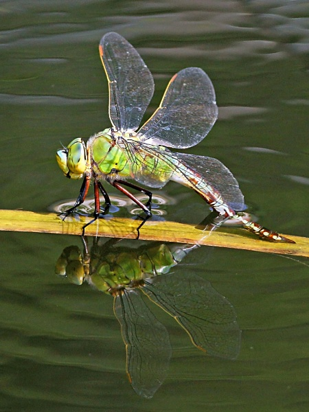 Emperor Dragonfly by bobpaige1