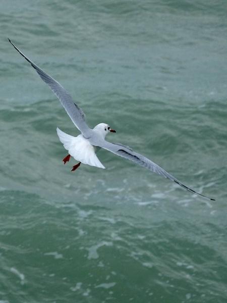 seagull by jeakmalt