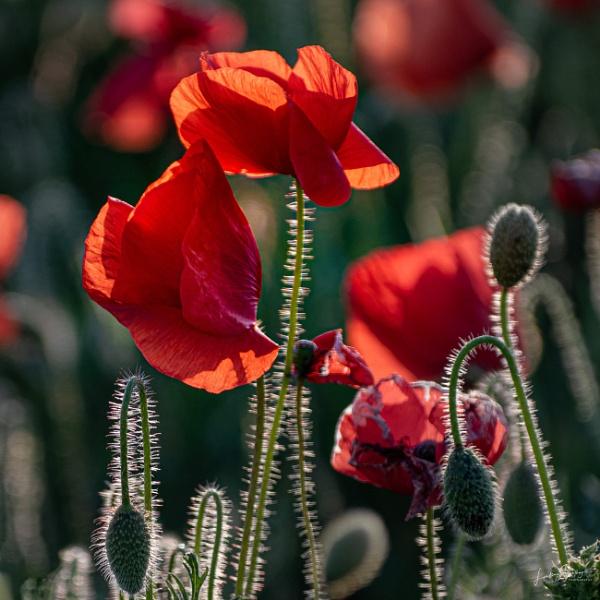 Evening light on poppies by LLCJ