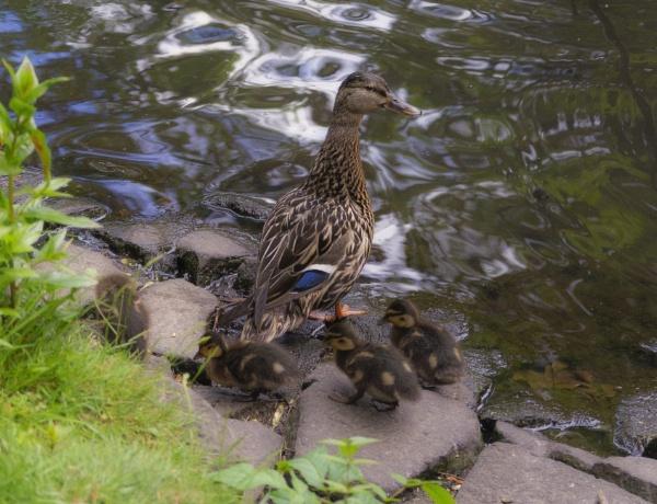 Female Mallard with Babies. by Umberto_V