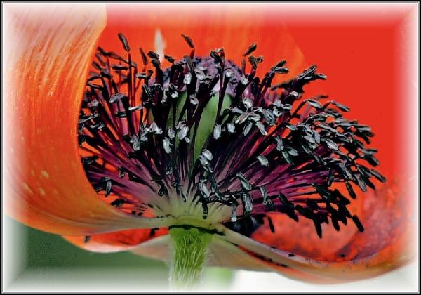 Poppy by dukes_jewel