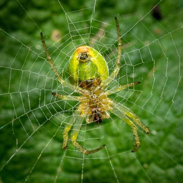 Cucumber Spider by falsecast