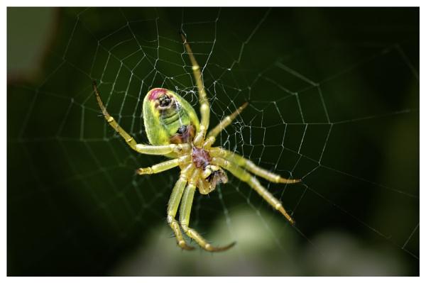Araniella cucurbitina (cucumber green orb spider) by simmo73