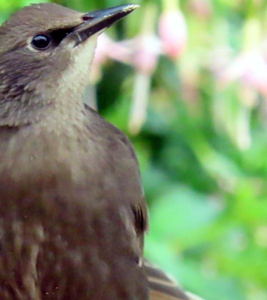 Starling fledgling by BlueJonnyp