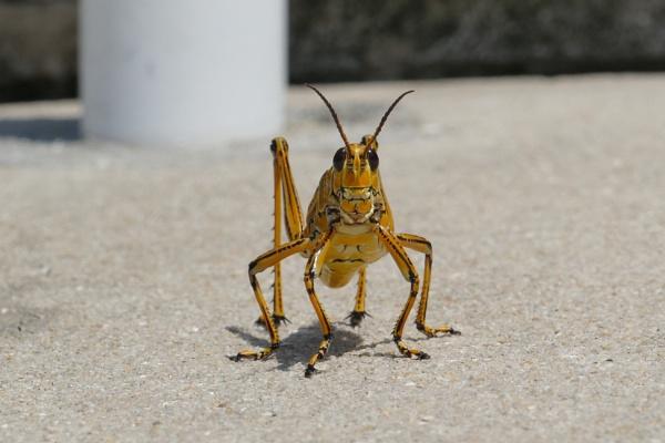 Florida lubber grasshopper by lebkuchen