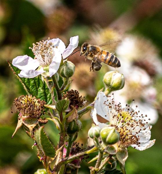 Honey bee on bramble by lagomorphhunter