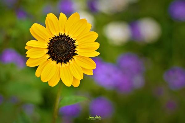 The Sun by sumansingha