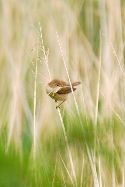Gathering Nesting Material by photographerjoe