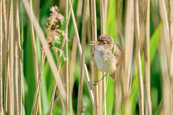 Juvenile Reed Warbler by photographerjoe