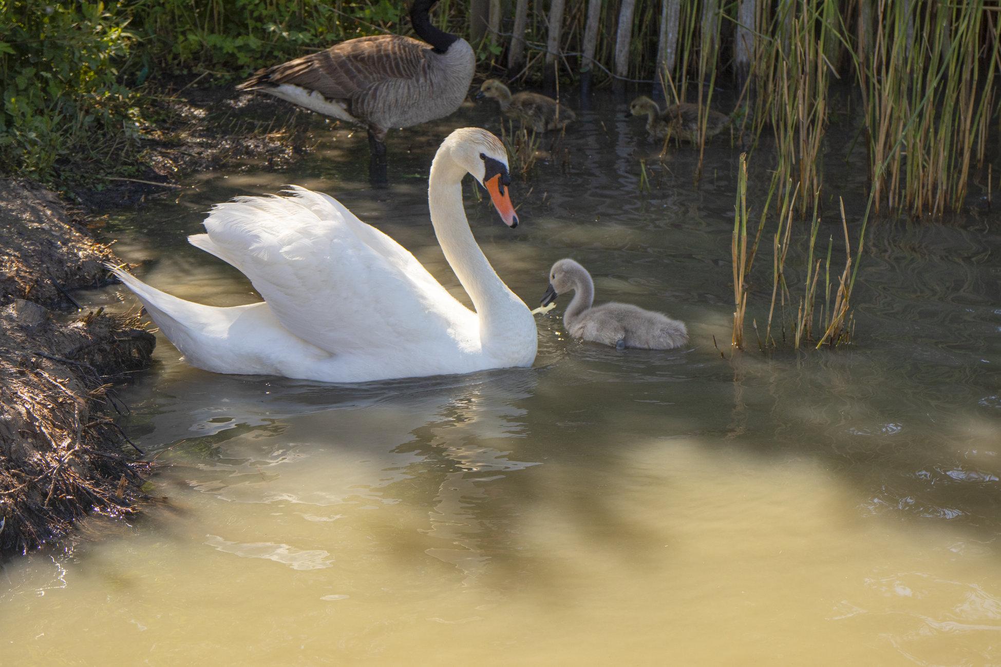Mum and cygnet
