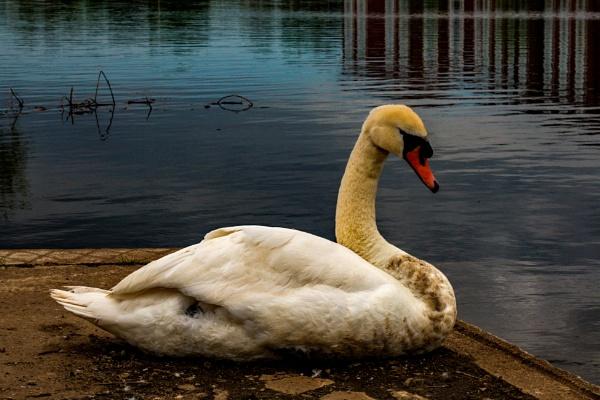 Resting Swan by terra