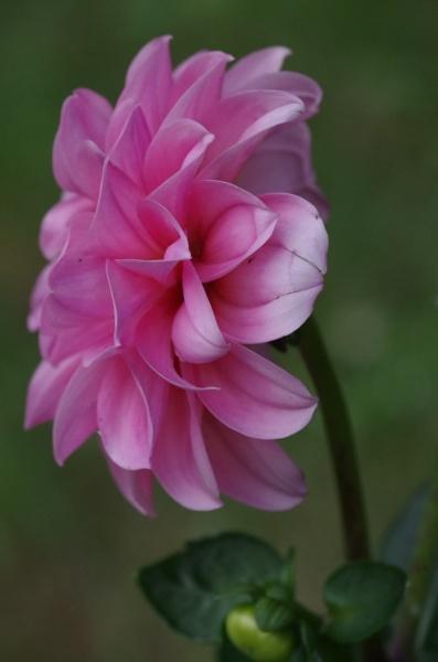 Pink Dahlia sideview by Kako