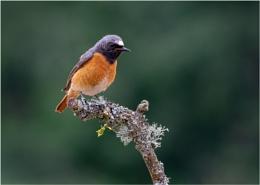 Redstarts - Phoenicurus phoenicurus