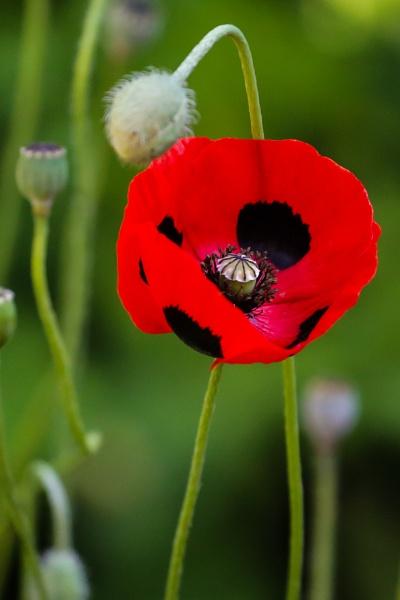 Poppy by Mounters