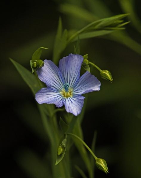 Flax by oldgreyheron