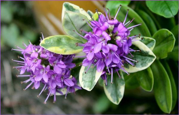 Purple by helenlinda