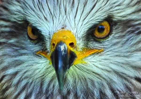 Red Kite Eyes by davten