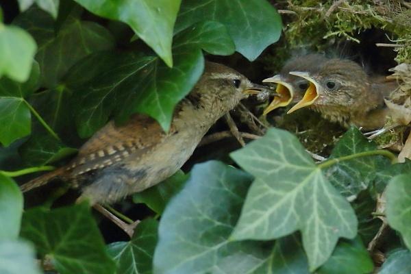 Wren feeding by colin beeley