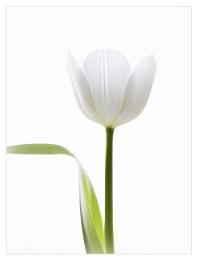 White Tulip revised