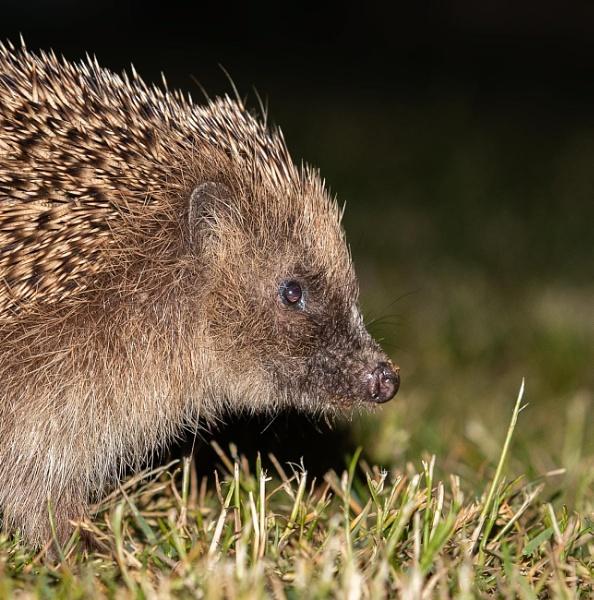 Hedgehog (Erinaceus europaeus) by Ray_Seagrove
