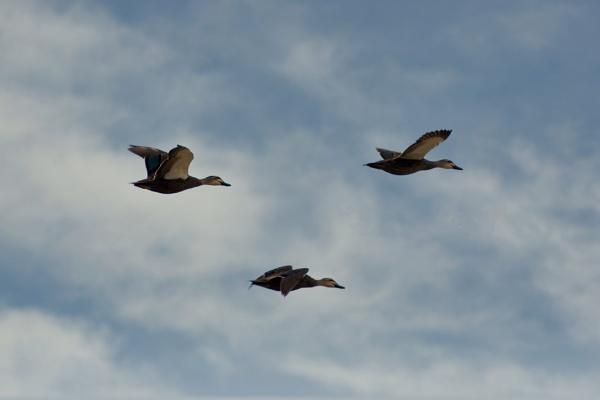 Pacific Black Ducks by Regbaron