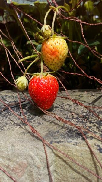 Todays Strawbery Photo. by YoungGrandad