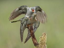 Mating Cuckoos