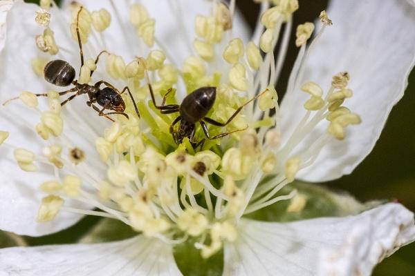 Ants - Macro plus 2X Tele Converter by rburnage