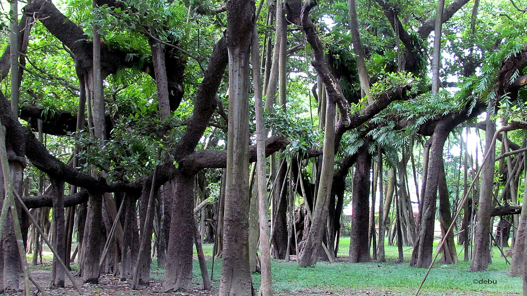 Kolkata # 8 A 250year-old Banyan tree...