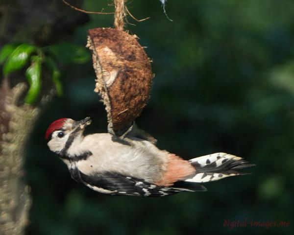 Juvenile Woodpecker II by Alan_Baseley