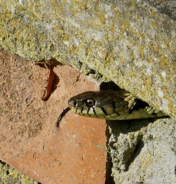 Grass snake by raywalker