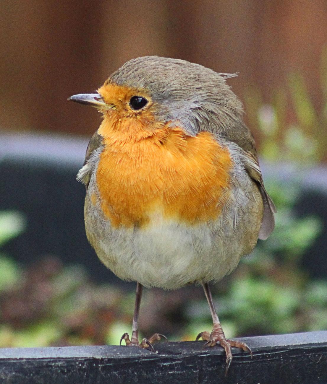 Young Robin (Erithacus rubecula)