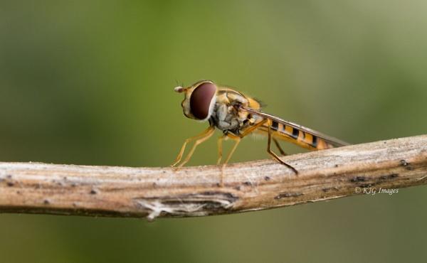 Marmalade Hoverfly  (Episyrphus balteatus) by kaz1