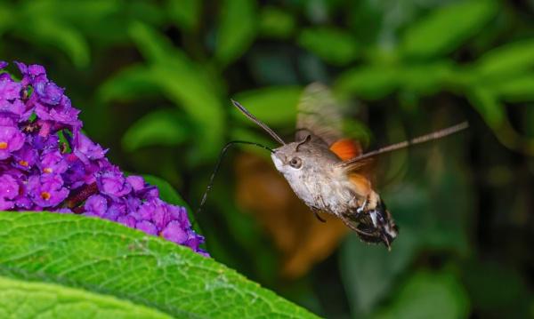 Hummingbird hawk moth by chavender
