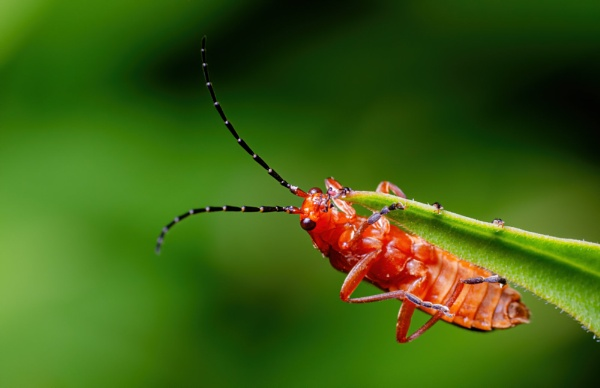 Red soldier beetle by chavender