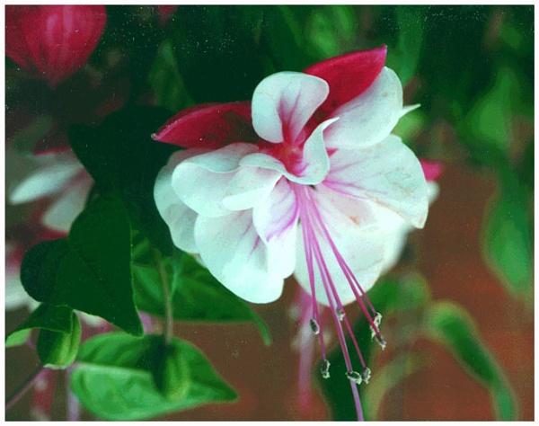 A Red & White Fuschia by gconant