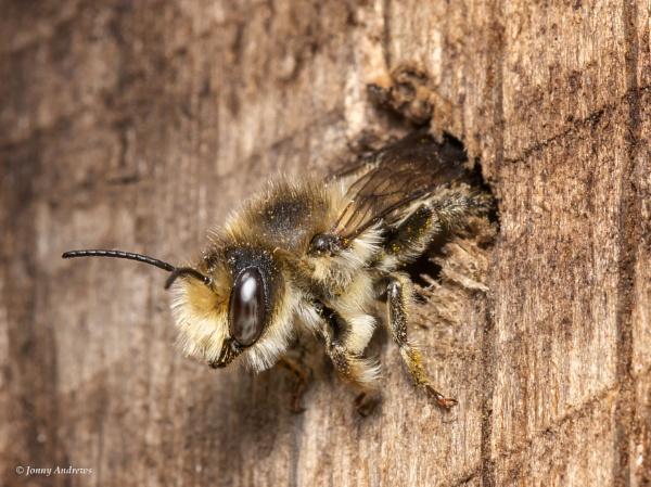 Willughby\'s leaf cutter bee by JonnyNI