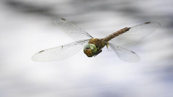 Norfolk Hawker Dragonfly by pauljt