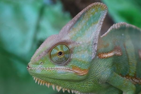 Helmet Chameleon portrait by Steveo28
