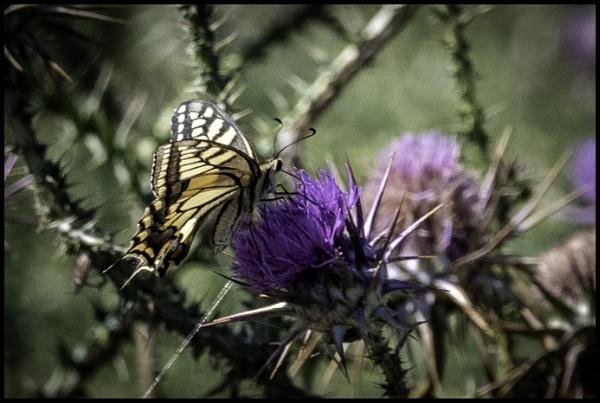 Swallowtail by jimobee