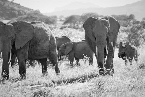 Elephants of Tsavo Park by goochian3